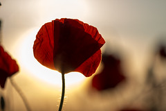 poppy flower in the evening light (diwan) Tags: city red sun flower macro rot canon germany geotagged deutschland eos sonnenuntergang sundown bokeh blumen magdeburg stadt poppy makro sonne silhouttes mohn 2014 saxonyanhalt sachsenanhalt canoneos650d geo:lon=11619238 geo:lat=52076174