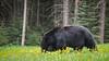 Banff National Park (dimthoughts) Tags: alberta banffnationalpark canada bear blackbear daytime nature outdoors naturallight pair fauna people spring