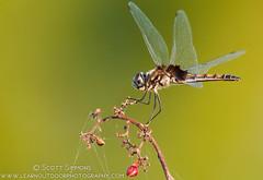 Marl Pennant (sjsimmons68) Tags: animals merrittislandnationalwildliferefuge insectsandspiders marlpennant macrodiplaxbalteata dragonflyanddamselfly fllocations