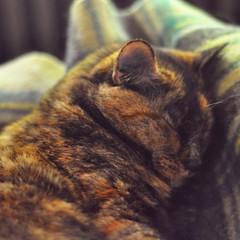 Sleepy Harriet (liquidnight) Tags: cameraphone camera sleeping cats pets cute animals portland tortoiseshell sleepy harriet pdx felines serene katzen iphone iphone5 iphoneography instagram