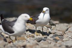 *** (balabim) Tags: seagulls ed nikon af d100 nikkor vladivostok 128 180mm