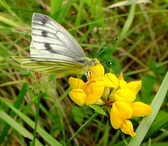 Fuji FinePix F600EXR.Super Macro.Female Green-veined White Butterfly On Bird's-foot Trefoil.July 17th 2014. (Blue Melanistic.Twelve Million Views.) Tags: ireland summer nature fauna insect flora warm wildlife july windy overcast wildflowers supermacro ulster tyrone compactcamera 2014 sunnyspells smallbutterfly colourfulbutterfly irishbutterfly bluemelanistic birdsfoottrefoilflowers bobottey femalegreenveinedwhite mywildflowergarden fujifinepixf600exr