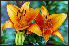 A Nice Pair (Wilf41) Tags: flowers orange macro nature closeup fauna garden lily pair tiger lillies tigerlily