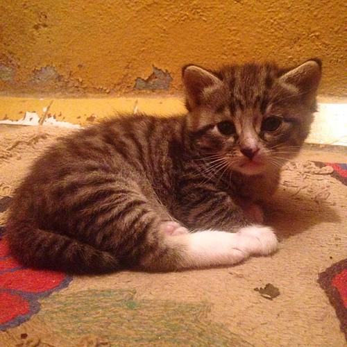 Бабушкина #кошка Муся родила такого вот милого котенка. #мимими #кот #котенок #кошак #высокое #беларусь #cat #kitty #мило #милый #sweet #belarus #маленький #picolo #gatto