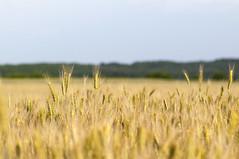bza tbla_1 (@csaksi) Tags: summer food plant field season bread landscape realestate wheat meadow lea agriculture flour region countrygeographicarea