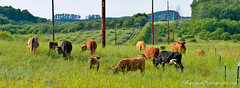 Long Horns ... tall poles (Ken Scott) Tags: summer panorama usa cattle michigan july longhorn 2014 leelanau 45thparallel kenscottphotography kenscottphotographycom
