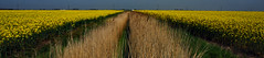 Rape Field at Caldecott Lane (richwat2011) Tags: landscape kent view vista fields crops farmland yellow rapeseed rape oilseedrape rapa rappi rapaseed canola flat nikon d200 18200mmvr 1000views 2000views 3000views 4000views 5000views 6000views 7000views 8000views 9000views 10000views 11000views 12000views 13000views 10faves 25faves 50faves 75faves 100faves 10comments 25comments 50comments
