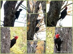 Campephilus magellanicus - carpintero gigante (*manuela*) Tags: bird argentina aves vogel neuquen vertebrata picidae pasare carpinterogigante campephilusmagellanicus pnlanin