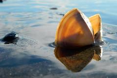Beach treasure 8 (Snorkle-suz) Tags: shells reflection sea water beaches newzealand aotearoa nz mollusk beach coast blue treasure myfavoritethings outside outdoor shore seashore seaside sand nikoncoolpixl120 beachtreasure beachtreasures himatangibeach seashells shell seashell shallowdepthoffield dof