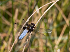 Broad-bodied Chaser, male - 2