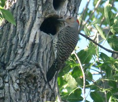Pic flamboyant - Northern Flicker...12 juillet 2014.. IMG_9666 (Diane.D.G.) Tags: birds oiseaux northernflicker coth almostthere supershot specanimal fantasticnature picflamboyant avianexcellence photossansfrontires damniwishidtakenthat damnfinepicture alittlebeauty newenvyofflickr lapetitegalerie bestofdamn faunaandfloragroup coth5 ayezloeil birdperfect hganimals hgspectacularbirds hennysanimals treasuresofkeepyoureyesopen realbutee eblouissantenature thesunshinegroup sunrays5 mesfavoriscoupdecoeur collectionparimpatience1