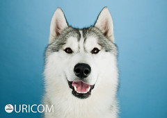 Huskies good (Uriy Terentev) Tags: life blue winter portrait dog pets brown white black cute art home dogs smile animals puppy studio fur fun one sitting friendship background small gray young canine nobody huskies malamute obedience mammals purebred lookingon