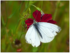 Small White Butterfly (eric robb niven) Tags: macro butterfly cycling scotland dundee angus perthshire smallwhite coupar ericrobbniven lumixfz72