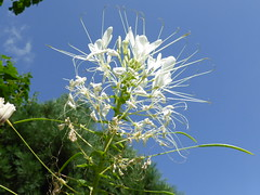 Annual garden flower (Alta alatis patent) Tags: flower annual botanicalgarden kattensnor whitequeen cleomehassleriana botanicalgardenutrecht