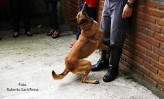 Demonstration of Search and Rescue with Dog (Roberto Sant'Anna) Tags: brazil rescue dog brasil search military police sp cachorro pm firefighter policia ipiranga rbs bombeiro
