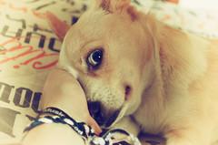 Sleepy head (Pals W) Tags: friends dog baby eye dogs animals puppy eyes nikon babies blueeyes perros animales cutedogs cuteanimals babyanimals nikon5100 babydogs
