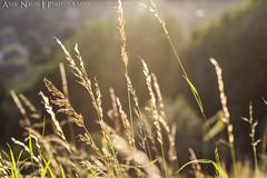 Wheat & sun