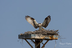Osprey landing sequence - 8 of 14