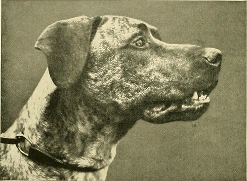 """Image from page 115 of """"The new book of the dog : a comprehensive natural history of British dogs and their foreign relatives, with chapters on law, breeding, kennel management, and veterinary treatment"""" (1911)"""