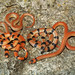 Variable Groundsnake, Morphs
