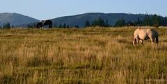 grazing (paul noble images) Tags: horses west sunrise landscape morninglight early utah nikon earlymorning pasture goldenhour deervalley parkcityutah wasatchmountains peacefulscene horsesgrazing d7000 paulnobleimages paulnoblephotography