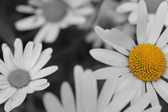 Daisy Black & White (mathew.leggett) Tags: blackandwhite white black colour macro nature up yellow closeup daisies close swindon mathew popping leggett dasiy colourpopping mathewleggett