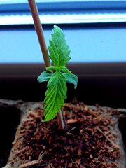 The best German plants ... 420 EVERYWHERE ! (Life of a Stoner by BK) Tags: plant weed pot bud dope cannabis