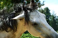 Wildness (marinadelcastell) Tags: wild horse white blanco caballo cheval weiss cavallo bianco blanc pferd cavall selvatico sauvage untamed indomable salvaje ungezähmt selvaggio salvatge indompté indomado