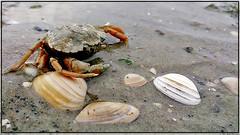Krab / Lobster. (Joop Rensema.) Tags: macro netherlands sony nederland lobster ameland groningen tamron isle krab eiland tamron90mm a230 hoornsemeer tamronspaf90mmf28di macrolife sonydslra230 sonya230
