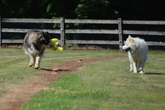 """Zarro Has Caught The Flag As It Was Zooming, Even Chase Is Impressed 2 • <a style=""""font-size:0.8em;"""" href=""""http://www.flickr.com/photos/96196263@N07/14899288182/"""" target=""""_blank"""">View on Flickr</a>"""