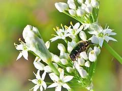 P9040009 (eriko_jpn) Tags: insect whiteflower beetle  flowerchafer eucetoniapilifera