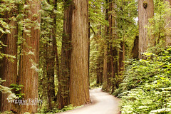 Two-Lane Road through the Redwoods (Virginia Bailey Photography) Tags: california road ca trees summer usa america canon july giants dirtroad redwoods stoutgrove redwoodsnationalpark canon50d howlandhillroad jedidiahsmithstatepark