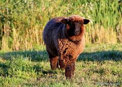 Sheep Prance