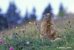 Marmot (silvano fabris) Tags: nature animals wildlife natura marmot marmotta