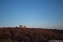 Posbank Rheden (Josette Veltman) Tags: sunset nature landscape zonsondergang heather natuur veluwe posbank heide landschap gelderland rheden