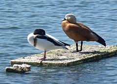 Ganzirri Messina -  Anatre selvatiche non identificate (Luigi Strano) Tags: italy birds europe italia uccelli sicily sicilia messina ganzirri