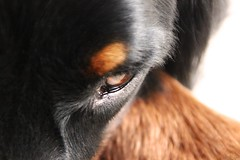 doggy eyes (estlfd) Tags: dog chien black macro eye love fire photo eyes noir close pics details picture tired canoneos freud feu dtails 550d