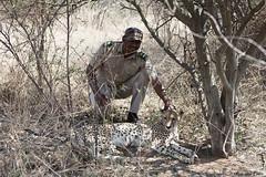 Letoatse, Mokolodi's Cheetah (Zsuzsa Por) Tags: africa animal canon wildlife botswana animalplanet mokolodi canonistas mokolodinaturereserve
