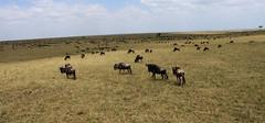 Great Migration (Roy Jongen) Tags: africa tanzania kenya wildlife great afrika wildebeast migration