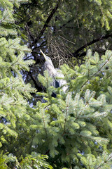 Stanley Park Heron (_K3_6968) ([Rossco]:[www.rgstrachan.com]) Tags: holiday canada bird heron nature animal vancouver downtown britishcolumbia wildlife stanleypark coalharbour 2014