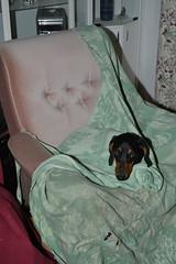 _140926_3327 (verbeek_dennis) Tags: dachshund tax kaapo dashond myrkoira  gravhund jazvek nikon800e tksa