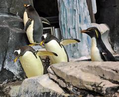Empire of the Penguin (littlestschnauzer) Tags: world park sea summer vacation usa animals penguins orlando florida parks empire theme seaworld flippers 2014