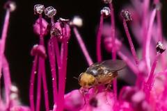 sehr kleine Fliege beim schwitzen auf einer Blüte (thomaskappel) Tags: beim auf fliege kleine einer sehr schwitzen blte