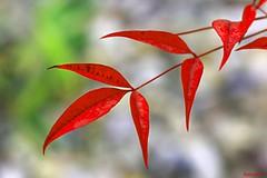 autumn color of Heavenly Bamboo (HansHolt) Tags: autumn red macro fall colors leaves bokeh herfst rood kleuren bladeren nandinadomestica heavenlybamboo ナンテン canonef100mmf28macrousm canoneos6d bambúsagrado himmelsbambus bambousacré therubyawardsinvitation hemelsebamboe