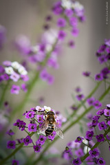 Bee on Purple Alyssum Flower (foto99) Tags: pink summer flower macro nature garden petals purple magenta bee delicate honeybee alyssum