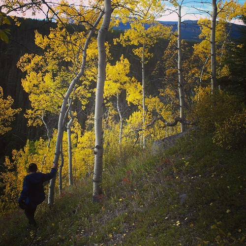 Trembling Aspen add brilliant yellow hues to #Yukon #fall colour #yxy