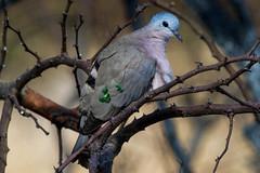 Emerald-spotted Wood-dove, Satara, KNP, Jul 2014 (roelofvdb) Tags: place dove year july date satara 2014 knp 358 emeraldspottedwooddove southernafricanbirds doveemeraldspottedwood