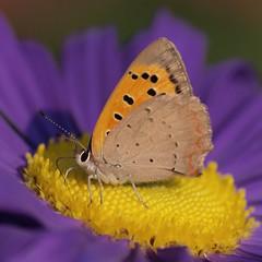 Moment de gloire ***-- --* (Titole) Tags: orange butterfly colorful purple papillon squareformat lycaenaphlaeas cuivrécommun reinemarguerite cywinner chinaaster friendlychallenges cuivré thechallengefactory storybookwinner titole nicolefaton
