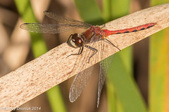 I'll take the high reed... (rdroniuk) Tags: dragonflies insects insectes odonata whitefacedmeadowhawk libellules sympetrumobtrusum meadowhawks sympétruméclaireur whitefacedmeadowhawkmale dragonfliesofontario