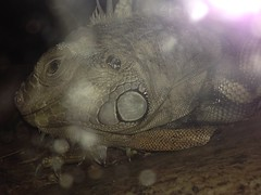 10 Yr. Old Iguana. ( SNAPShots  by: Patrick J.Whitfield) Tags: camera summer sun ontario canada macro slr nature animals closeup canon outside photography eos rebel fly flying dragon dragonfly random hiking earth wildlife exploring ottawa moth trails toads insects ground bugs frog creepy adventure explore dirt iguana heat frogs yuck wilderness amphibians creatures creature treefrog mothernature reptiles flickrbugs crawly grubs t3i bugslife macrophotography creepycrawly coldblooded nonedited iphone5 ribitribit follow4follow like4like